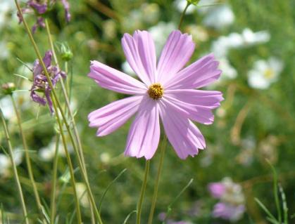Flor de alitena